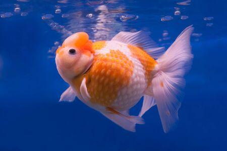 jelly head: Gold fish