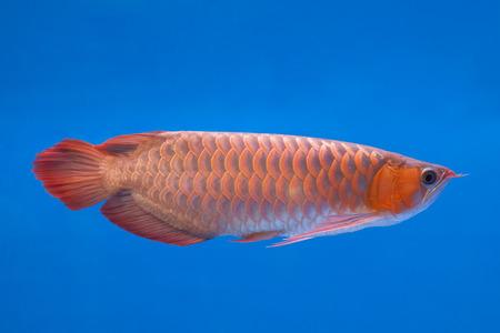 hobbyist: Asian Arowana Red fish