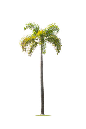 betel palm trees isolated on white background