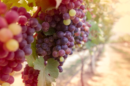 bluer: Grapes in vineyard