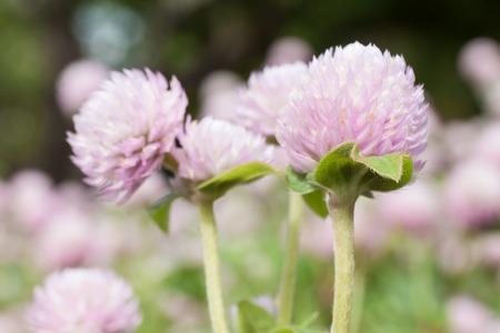 globosa: Globe amaranth or Gomphrena globosa in the garden