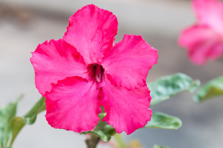 clima tropical: flor del desierto, clima tropical, flor rosa roja.