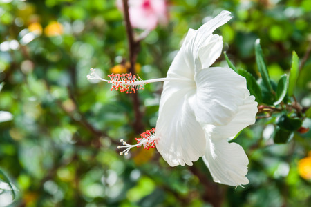 White Hibiscus flower in the garden.