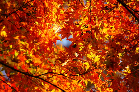 momiji: red maple