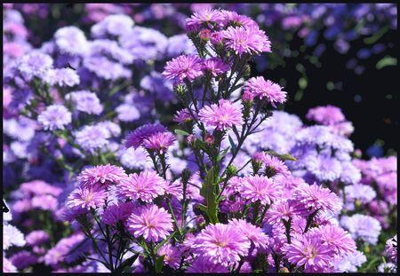 European Michaelmas-daisy (Aster amellus) in garden