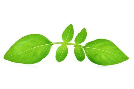 Fresh basil leaf isolated on white background.