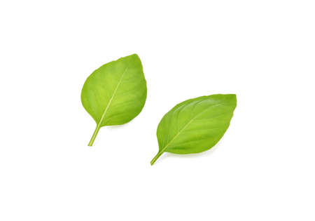 Fresh green basil leaves isolated on white background Фото со стока