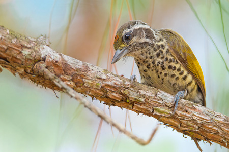 tele up: Drill for hidden worm from branch of pine.Speckled Piculet( Picumnus innominatus) male Stock Photo