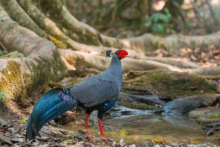 Thirsty bird takes a break by a puddle which is rare in summer.Siamese fireback(Lophura diardi) male national bird of thailand