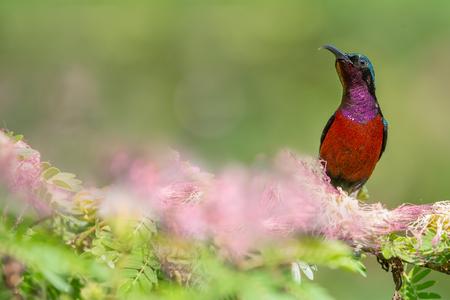 perching: Purple throat sunbird (Leptocoma brasiliana),male perching drinking flower sugar.