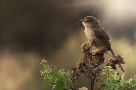 ignorant: White-browed wren - warbler perch on shrub in grassland