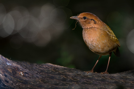 Rusty-naped Pitta ( Pitta oatesi )  bird,natural blurred background with bokeh and copy space. Side view,standing on the log looking for prey