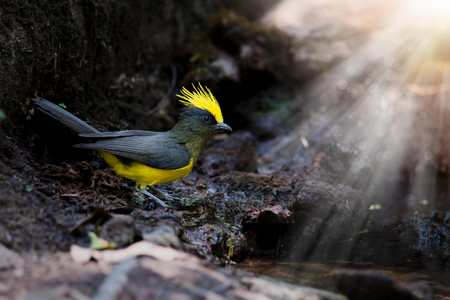 tele up: Black and yellow crested bird standing beside the pond after drinking water, sun ray and bokeh background Sultan tit (Melanochlora sultanea) Stock Photo