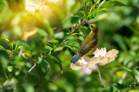 Meet me at the blossom.Juvenile bird,Olive backed Sunbird( Cinnyris jugularis ) enjoying sweet from fresh flower. Stock Photo