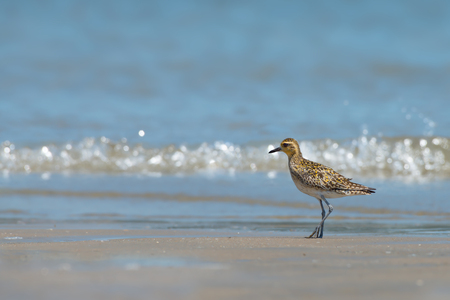 Walking on the beach.Water bird,Pacific golden plover ( pluvialis fulva ) making a living on sea shore ,gulf of thailand.