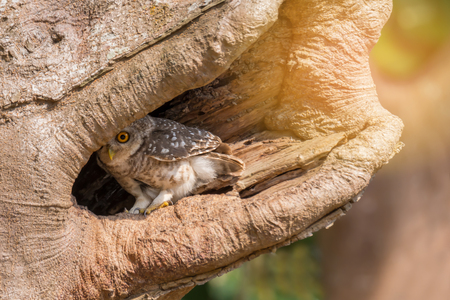 Spotted owlet(Athene brama)  . Little owl, Spotted owlet(Athene brama) in  hollow tree, looking at the camera Stock Photo