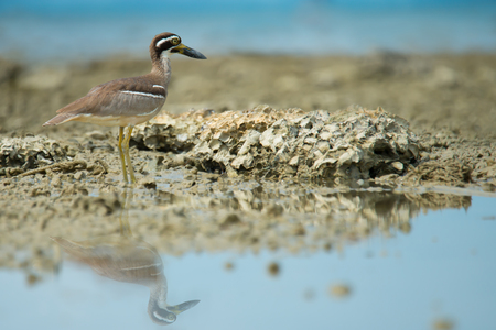 Wonderful birdBeach Thick knee (Esacus neglectus) standing on the reef while the tide is low.