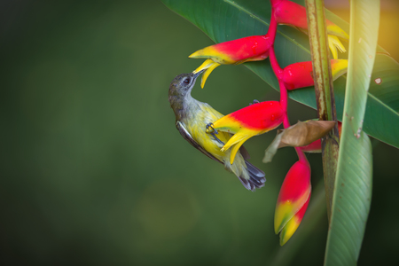 pollinators: What a sweet fruit.Little spiderhunter( Arachnothera longirostra )is sucking nectar from hanging lobster claw flower (Heliconia rostrata inflorescence)