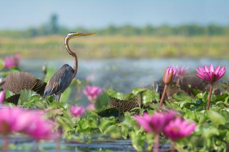 Long necked bird ambushing for prey. Purple Heron (Ardea purpurea) living in wetland of thailand,pink lotus in foreground. Stock Photo