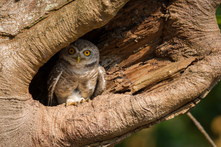 Little owl, Spotted owlet(Athene brama) in  hollow tree, looking at the camera Stock Photo