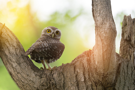 Spotted owlet(Athene brama)  . Little owl, Spotted owlet(Athene brama) perching over hollow nest, looking at the camera