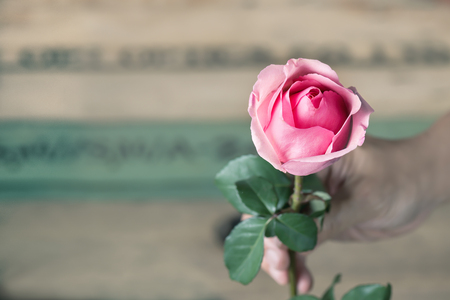 Man giving a pink rose.Man expressing his love to woman with blossom pink rose. Stock Photo