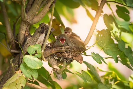 eared: They believe they can fly. Juvenile birds,streak eared bulbul ( pycnonotus blanfordi ) perching on the nest edge opening mouth widely and ready to leave nest .