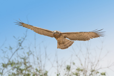 Bird of prey in flight on blue sky clouds background.  Low angle view of Short-toed snake eagle (Circaetus gallicus) flying in blue sky .
