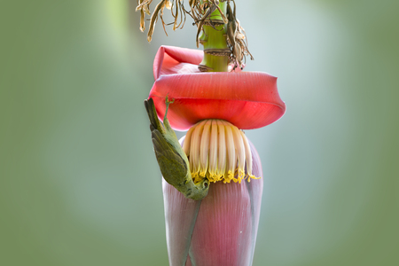 Cute tiny bird,perching upside down on banana flower. Beautiful bird ,Brown throated sunbird  ( Anthreptes  malacensis ) drinking sweet with copy space.