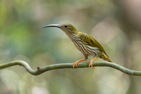 yellowish green: What a thirsty day,I need water now. Streaked Spiderhunter (Arachnothera magna), Amazing bird with long-curved beak perching on vine over a puddle in summer.