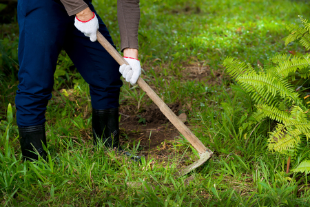 Man  weeding his garden with hoe.  Adult male digging weed  in his green grass lawn with sunlight background.
