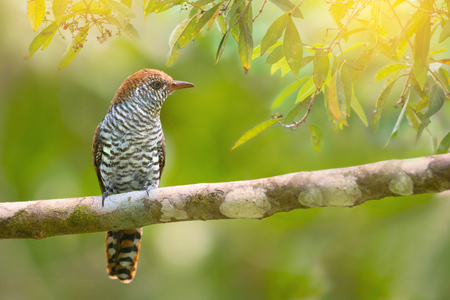 Beautiful bird with white and brown bars  perches on branch. Bird,Violet Cuckoo ( Chrysococcyx xanthorhynchus ),female with rufous head resting in bright and clear morning light