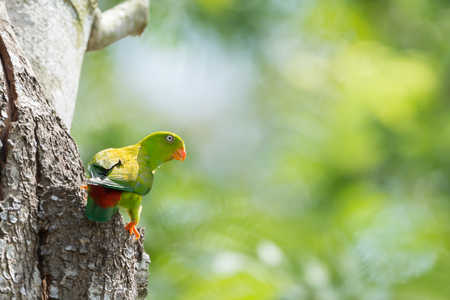 white perch: Parrot bird in nature Vernal Hanging Parrot ( Loriculus vernalis ) with sunrise bokeh blurred background Stock Photo