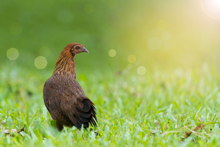 attract attention: Colorful chicken ferreting food in the morning.Red junglefowl ( Gallus gallus )Female with beautiful brown plumage twitching head and neck making a living