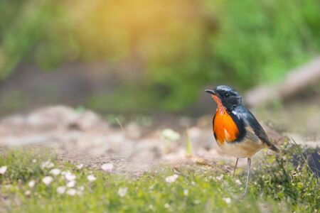 Amazing orange throated bird making a living in the green field early morning. Bird,Fire throated Robin,David's Rubythroated ( Luscinia pectardens ) showing full color plumage for bleeding season.