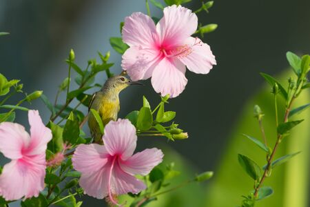 Meet me at the blossom Olive backed Sunbird( Cinnyris jugularis ) enjoying sweet from pink flower. Stock Photo