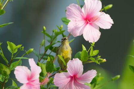 nectar: Meet me at the blossom Olive backed Sunbird( Cinnyris jugularis ) enjoying sweet from pink flower. Stock Photo
