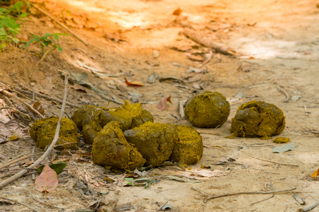 Elephant feces,new fresh. Asia elephant defecate while walking in the forest.