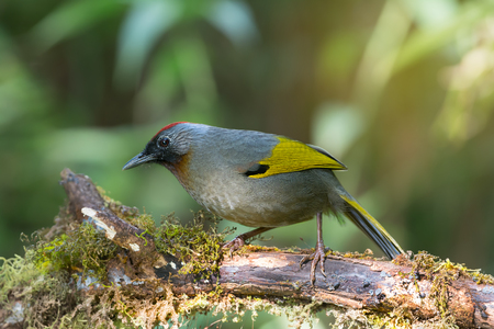 northern light: Red headed,yellow wings bird. Silver eared laughingthrush ( trochalopteron melanostigma ) living in highland ,northern Thailand. Stock Photo