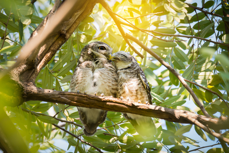 Pair of owl kissing gently.Owls in love, Spotted owlet(Athene brama) perching side by side and squinting eyed with sunlight background.