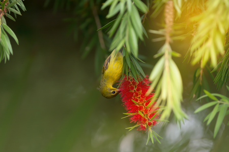 Beautiful bird perching on red brush flower in sunny day with sunlight. Juvenile Brown-throated Sunbird ( Anthreptes malacensis ) ,female   enjoying sweet in summer time. Stock Photo