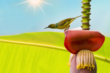 Beautiful bird perching on banana flower in sunny day with sunray. Brown-throated Sunbird ( Anthreptes malacensis ) ,male mature in moulting season enjoying sweet in summer time. Stock Photo