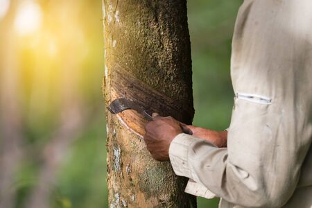Hands tapping a rubber tree.Worker start tapping since early morning ,blurred background.