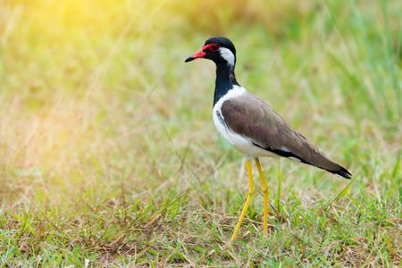 黄色の長い足の鳥。 赤 wattled ラッピング (Vanellus indicus) 日光のフィールドで生計を立てています。 写真素材