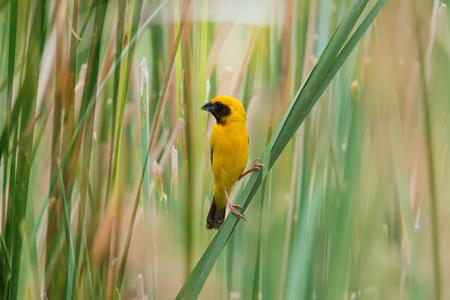 かわいい黄色の小型の鳥は晴れた日に緑の葉に止まった。 アジア黄金の織工 (Ploceus hypoxanthus)、男性。 写真素材
