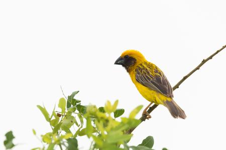 かわいい黄色い小さな鳥の枝、孤立した白い背景に止まった。 アジア黄金の織工 (Ploceus hypoxanthus)、男性。
