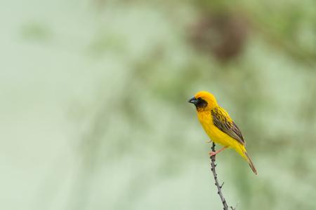 枝、自然に止まったかわいい黄色の小さな鳥は、背景をぼかし。 アジア黄金の織工 (Ploceus hypoxanthus)、男性。