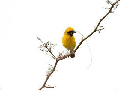 かわいい黄色の小さな鳥の巣を構築するための材料を準備するは、白い背景を分離しました。 アジア黄金の織工 (Ploceus hypoxanthus)、男性。 写真素材