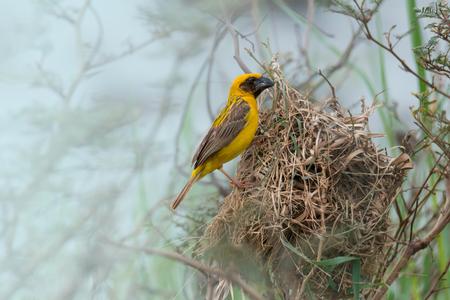 かわいい黄色い小さな鳥は草の繊維で繁殖期における今後の赤ちゃんのためペンダント巣を製織します。 アジア黄金の織工 (Ploceus hypoxanthus)、男性。