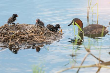 カイツブリ (Tachaybaptus 区) 浮動小数点巣にオレンジ色のトンボでの授乳します。 少年のアヒルと湖の生息地で親。